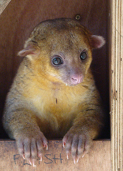 A Kinkajou at the Paradise Animal Rehabilitation Center, Volcancito, Panama. Image by Dick Culbert, 2008
