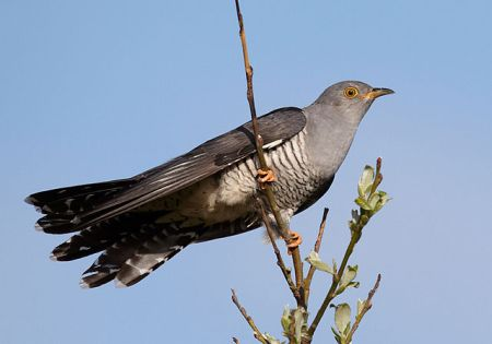 Common Cuckoo. Image by Chris Romeiks, 2011