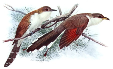 Black-billed Cuckoo (left), Yellow-billed Cuckoo (right). Watercolour by Louis Agassiz Fuertes between 1910 and 1914.