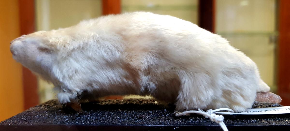 Southern_marsupial_mole