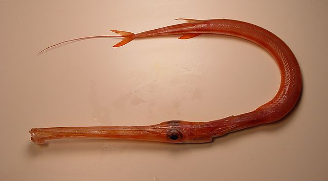 Red Cornetfish Fistularia petimba from the Gulf of Mexico. Image by SEFSC Pascagoula Laboratory; Collection of Brandi Noble, NOAA/NMFS/SEFSC