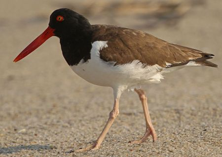 American Oystercatcher by DonaldRMiller, 2010