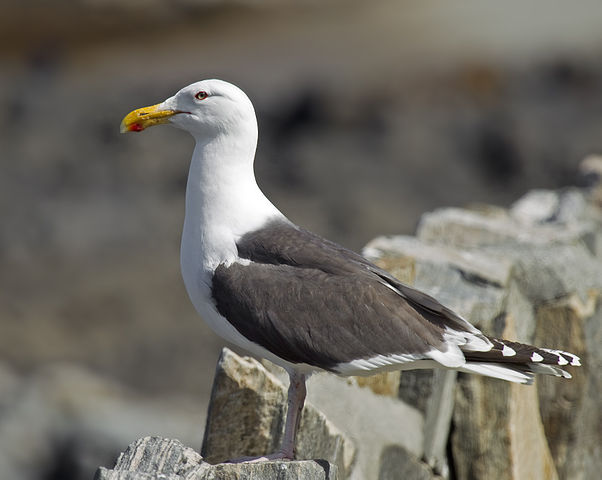 Great Black-backed Gull by Andreas Trepte, 2010