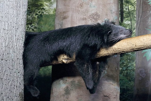 Binturong by Greg Hume, 2017