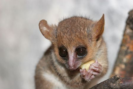 Lesser Mouse Lemur by Arjan Haverkamp, 2007