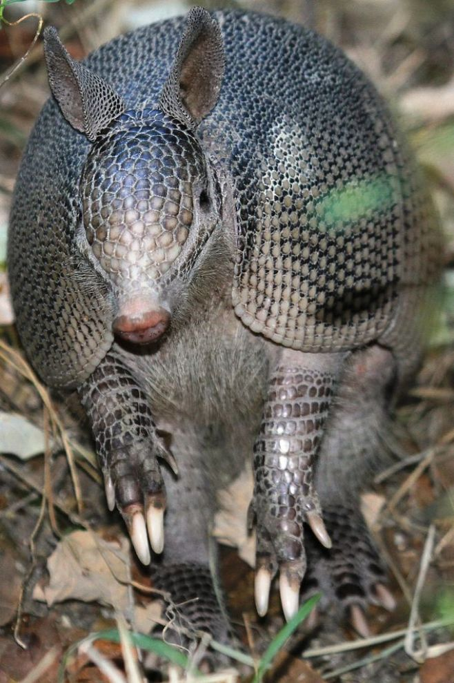 9-banded Armadillo by Ereenegee, 2011