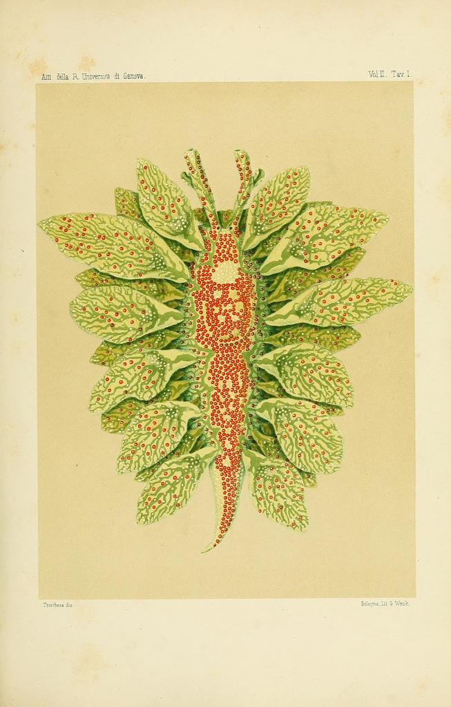 Caliphylla mediterranea by S. Trinchese in Æolididae e famiglie affini del porto di Genova, Pt.1 (c.1877-1879)