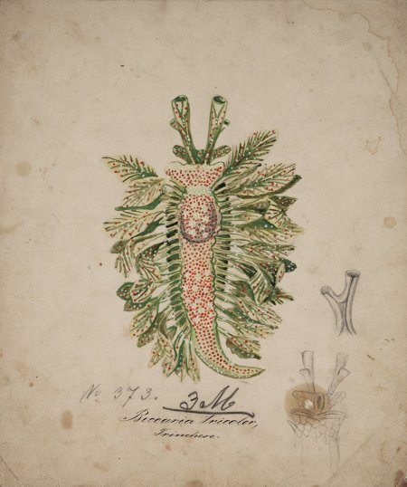Beccaria tricolor by Leopold Blaschka (between 1863-1886). From the collection of the Corning Museum of Glass and Digitized by Boston Photo Imaging May 2011