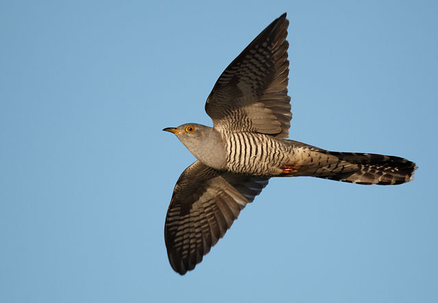Common cuckoo by Vogelartinfo, 2010