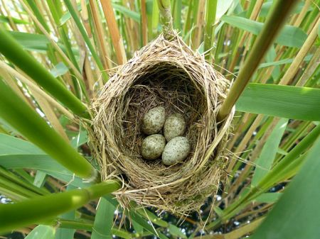 Reed Warbler nest with what looks like a sneaky impostor egg... Image by NottsExMiner, 2012