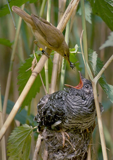 Reed Warbler feeding a Common Cuckoo chick in a nest. By Per Harald Olsen.