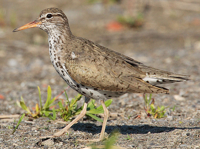 Spotted Sandpiper, at Bluffer's Park (Toronto, Canada), by Factumquintus, c.2005