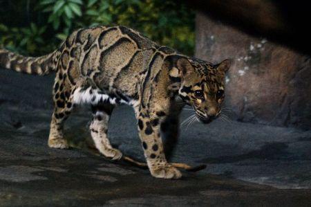 Clouded Leopard in Cincinnati Zoo, Charles Barilleaux, 2012.