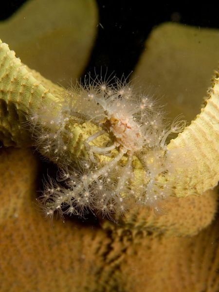 Decorator crab covered in stinging hydroid polyps, which defend the crab while benefiting from food scraps and greater mobility. Image by Nick Hobgood, 2006