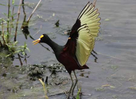northernjacana