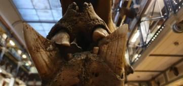 Rhino tusks