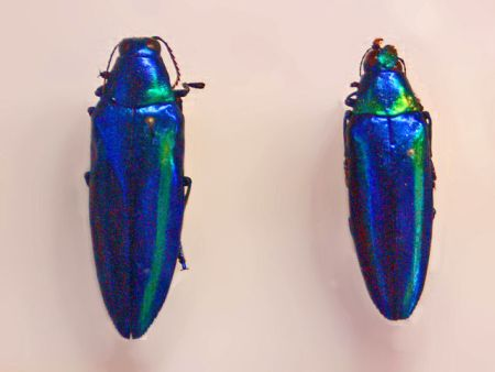 Chrysochroa rajah from southern China. Photo by Hectonichus 2010